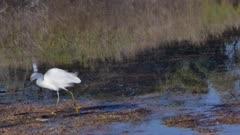 Snowy Egret (Egretta thula) poops