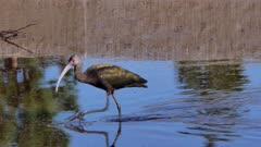 White-faced ibis (Plegadis chihi)