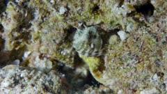 Elusive Sailfin Blenny (Emblemaria)  1 of 2