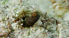 Gulf Signal Blenny (Emblemaria hypacanthus)  1 of 2