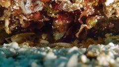 Gulf Signal Blenny feeding (Emblemaria hypacanthus)