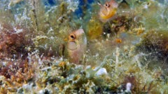 Pair of Browncheek Blenny one is agressive (Acanthemblemaria crockeri)