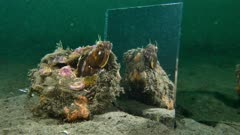 Sarcastic Fringehead looks in a mirror 1 of 2