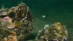 Two Sarcastic Fringeheads fight 2 of 3