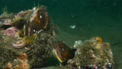 Two Sarcastic Fringeheads fight 3 of 3