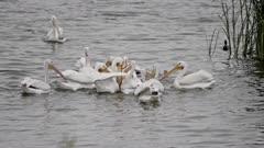 American White Pelican (Pelecanus erythrorhynchos) catching fish (1 of 3)