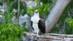 Bird wildlife: depature of Osprey  / Caribbean / Curacao