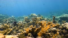 Seascape in turquoise water of coral reef in Caribbean Sea / Curacao with fish, Elkhorn Coral and sponge