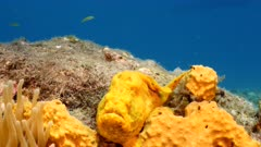 Close up of yellow Frogfish in coral reef in Caribbean Sea / Curacao