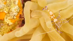 Close up of Spotted Cleaner Shrimp in coral reef in Caribbean Sea / Curacao