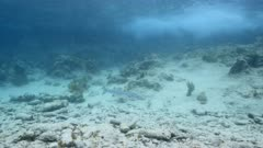 Seascape in shallow water of coral reef in Caribbean Sea / Curacao with Barracuda fish