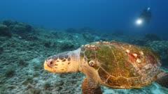 Loggerhead Sea Turtle in  coral reef of Caribbean Sea / Curacao