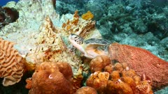 Green Sea Turtle rest in sponge in coral reef of Caribbean Sea / Curacao