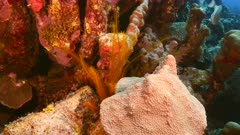 Close up of Golden Crinoid in coral reef in Caribbean Sea / Curacao