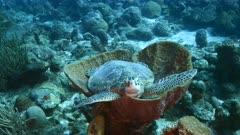 Green Sea Turtle in turquoise water of coral reef in Caribbean Sea / CuracaoGreen Sea Turtle in shallow water of coral reef in Caribbean Sea / Curacao