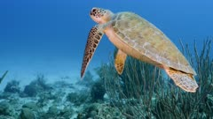 Green Sea Turtle in turquoise water of coral reef in Caribbean Sea / CuracaoGreen Sea Turtle in turquoise water of coral reef in Caribbean Sea / Curacao