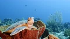 Green Sea Turtle rest in sponge in coral reef of Caribbean Sea / Curacao