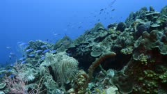 Seascape in turquoise water of coral reef in Caribbean Sea / Curacao with School of Boga fish, coral and sponge