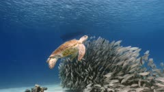 Bait ball / school of fish and Green Sea Turtle in shallow water of coral reef in Caribbean Sea / Curacao