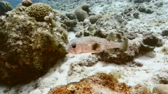 Porcupine Fish in turquoise water of coral reef in Caribbean Sea / Curacao