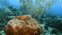 Seascape in turquoise water of coral reef in Caribbean Sea / Curacao with Sand Diver fish, coral and sponge