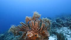 Seascape of coral reef in Caribbean Sea / Curacao with fish, coral and Branching Vase Sponge