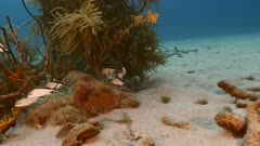 School of Cottonwick in turquoise water of coral reef  in Caribbean Sea / Curacao