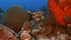 School of Yellowtail Snapper in turquoise water of coral reef  in Caribbean Sea / Curacao