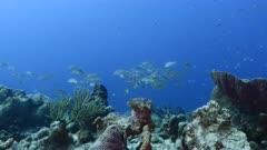 School of Schoolmaster Snapper in turquoise water of coral reef  in Caribbean Sea / Curacao