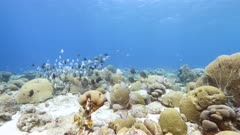 Seascape in turquoise water of coral reef in the Caribbean Sea around Curacao with Ocean Surgeonfish, Blue Tang, Doctorfish and coral and sponge