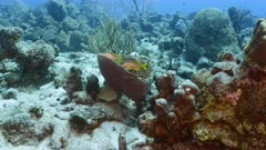 Seascape in turquoise water of coral reef in Caribbean Sea / Curacao with Schoolmaster Snapper in sponge