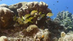 Seascape in turquoise water of coral reef in Caribbean Sea / Curacao with French Grunt, fish, coral and sponge