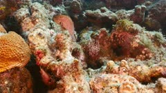 Seascape of coral reef in Caribbean Sea / Curacao with Red Hind, fish coral and sponge