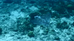Spotted Eagle Ray in shallow water of coral reef - Caribbean Sea / Curacao