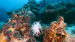 Close up of bleached Sea Anemone in coral reef in Caribbean Sea / Curacao