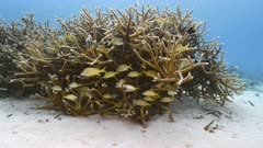 Seascape in shallow water of coral reef in Caribbean Sea / Curacao with Staghorn Coral and Yellowtail Snapper