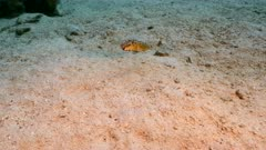 Close up of Bandtail Puffer in coral reef in Caribbean Sea / Curacao
