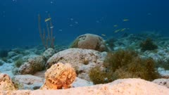Close up of Secretary Blenny fish in coral reef in Caribbean Sea / Curacao