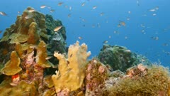 Seascape in turquoise water of coral reef in Caribbean Sea / Curacao with fish, coral and sponge
