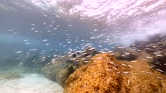 Bait ball and school of Ocean Surgeonfish, Blue Tang, Doctorfish in shallow water of coral reef  in Caribbean Sea / Curacao