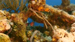 Close up of Blackbar Soldierfish as a part of coral reef in the Caribbean Sea / Curacao