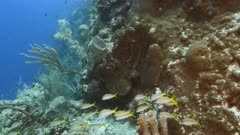 Seascape in turquoise water of coral reef in Caribbean Sea / Curacao with Yellowtail Snapper, coral and sponge