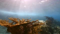 Seascape in shallow water of coral reef in Caribbean Sea / Curacao with Elkhorn Coral and view to surface and sunbeams