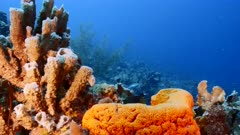 Seascape in turquoise water of coral reef in Caribbean Sea / Curacao with fish, coral and Branching Vase Sponge