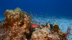 Seascape in turquoise water of coral reef in Caribbean Sea / Curacao with Blackbar Soldierfish, coral and sponge