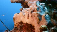 Close up of Fireworm in coral reef of the Caribbean Sea / Curacao