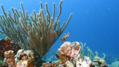 Seascape in shallow water of coral reef in Caribbean Sea / Curacao with Smooth Trunkfish, coral and sponge