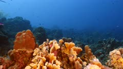 Seascape in turquoise water of coral reef in Caribbean Sea / Curacao with Creole Wrasse, coral and sponge