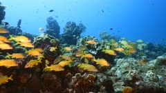 Seascape in turquoise water of coral reef in Caribbean Sea / Curacao with school of Grunt, coral and sponge