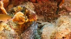 Close up of Spotted Moray Eel in coral reef of the Caribbean Sea / Curacao